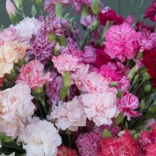 بذر گل میخک چابائود پیکوتی میکس