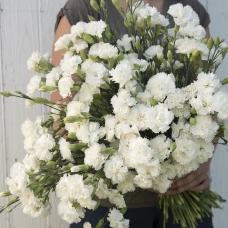 بذر گل میخک چابائود جین دیونیس