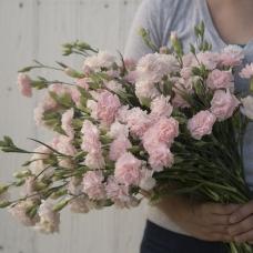 بذر گل میخک چابائود فرانسه