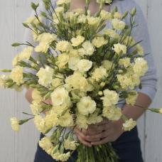 بذر گل میخک چابائود ماری