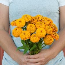 بذر گل آهار اوکلاهما زرد طلایی