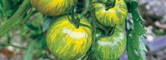 بذر گوجه فرنگی سبز راه راه