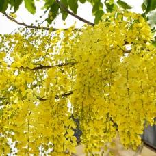 بذر درخت طلایی