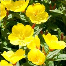 بذر گل مغربی