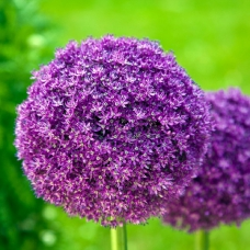 پیاز گل آلیوم