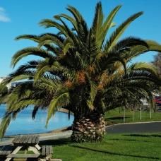 بذر نخل جزایر قناری