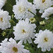 بذر گل ستاره ای گلوله برفی