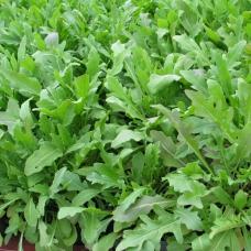 بذر روکولا سلواتیکا