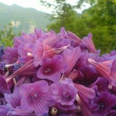 بذر گل گاوزبان ایرانی
