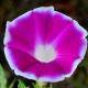 بذر گل نیلوفر پیچ نیل کورنل