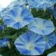 بذر گل نیلوفر پیچ بشقاب پرنده
