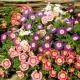 بذر گل نیلوفر پیچ سه رنگ میکس
