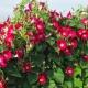 بذر گل نیلوفر پیچ اسکارلت اُ هارا