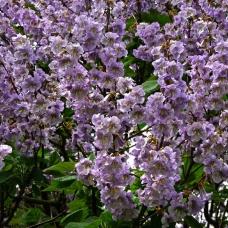 بذر درخت پالونیا کاواکامی