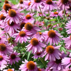 بذر سرخار گل