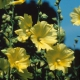 بذر گل ختمی زرد