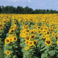بذر گل آفتابگردان BZ-S1