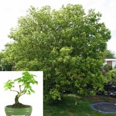 بذر درخت افرا سیاه