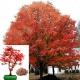 بذر درخت افرای قرمز