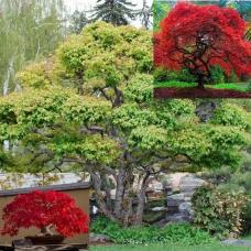 بذر درخت افرای آمور