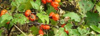 بذر گوجه فرنگی تلخ