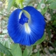 بذر لوبیا پروانه ای