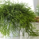 بذر کاکتوس ریپسالیس
