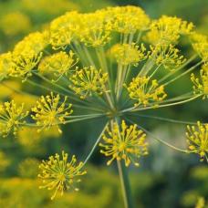 بذر باریجه