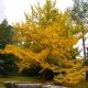 بذر درخت ژینکو