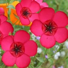 بذر گل فلکس قرمز بزرگ