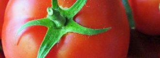 بذر گوجه فرنگی saint pierre