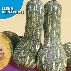 بذر کدو تنبل لنا دی ناپولز