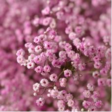 بذر گل جیپسوفیلا صورتی