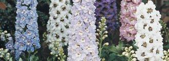 بذر گل زبان در قفا رنگ مخلوط