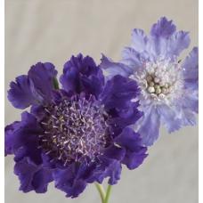 بذر گل کبوتر گود آبی