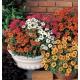بذر گل آهار رنگ مخلوط (F1)