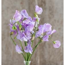 بذر گل نخود شیرین بنفش ظریف