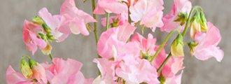 بذر گل نخود شیرین زیبای صورتی