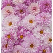 بذر گل ستاره ای دو رنگ صورتی