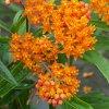 بذر گل استبرق نارنجی زرق و برق دار