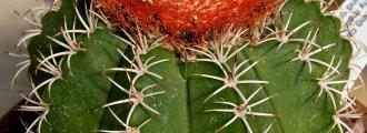 بذر ملوکاکتوس زهنتنری