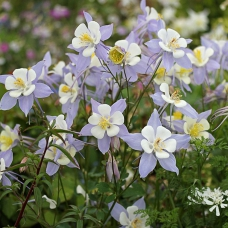 بذر گل کلمباین آلمانی