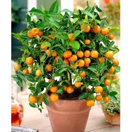 بذر نارنگی مینیاتوری