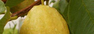بذر گواوا زرد گلابی