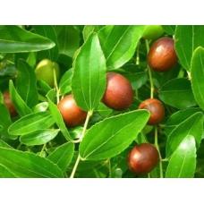 بذر درخت عناب هندی