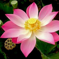 بذر گل لاله مردابی