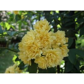 بذر گل آبشار طلایی