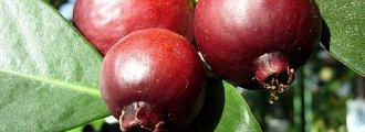 بذر گواوا قرمز یا گواوا توت فرنگی