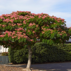بذر درخت گل ابریشم