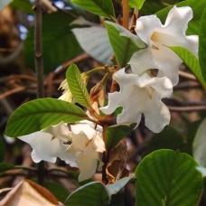 بذر گل لیلی ایستر